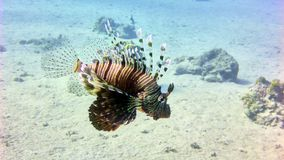 Lion fish in Red sea Royalty Free Stock Image