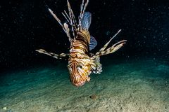 Lion fish in the Red Sea , eilat israel royalty free stock photo