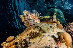 Lion fish in the Red Sea stock photo