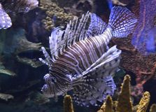 Lion Fish Ripleys Aquarium fotografie stock