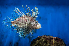 Lion fish and rock Royalty Free Stock Photos