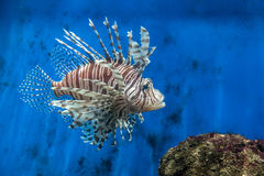 Lion fish and rock Royalty Free Stock Image