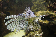 Lion fish. A lion fish between rocks Royalty Free Stock Image