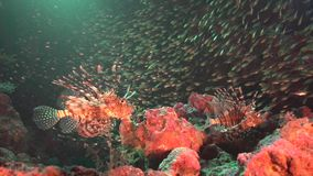 Lion fish with schooll of glass fish in cave underwater stock video footage