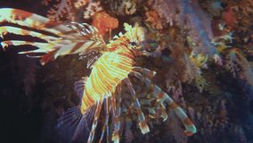 Lion Fish Or Scorpion Fish Close Up Of Colourful Camouflaged Poisonous Tropical Fish