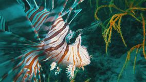 Lion fish or scorpion fish close up of colourful venomous & poisonous tropical fish