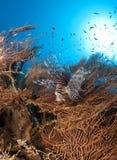 Lion fish, scorpion fish Royalty Free Stock Images
