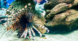The lion-fish Royalty Free Stock Photography