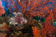 Lion Fish with seafan. In north andaman Stock Photography