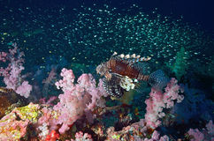 Lion fish with seafan Royalty Free Stock Photography