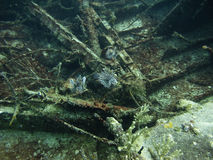 Lion fish in a shipwreck. Three lion fish swimming around a shipwreck Royalty Free Stock Photos