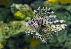 Lion Fish som simmar upp undervattens- slut royaltyfria bilder