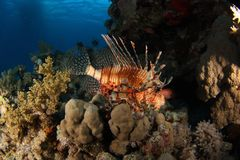 Lion fish - St John's reef Egypt. Lion fish (Pterois volitans) resting on the reef at St John reef, Egypt Stock Photos