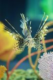 Lion fish are swimming in the coral reef. Royalty Free Stock Photo