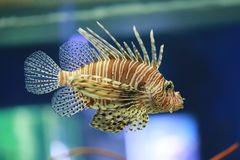 Lion fish are swimming in the coral reef. Stock Images