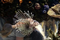 Lion fish swimming past coral reef Stock Photo