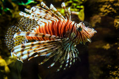 Lion Fish. Swimming in a pool in Kuala Lumpur Aquarium Stock Photography