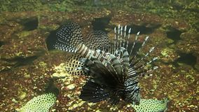 Lion fish swimming slowly stock footage