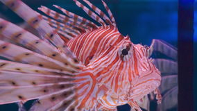 Lion fish swimming under water stock video footage
