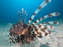 Lion Fish underwater Royalty Free Stock Photo