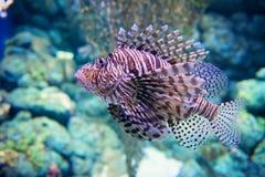 Lion fish. The Lion fish: underwater life Stock Photo