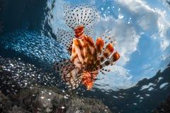 Lion fish. Underwater shot against blue sky background Stock Image