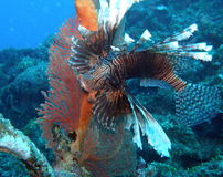 Lion fish Volitans. Brightly Coloured Lion Fish in front of Red Gorgonian Fan Royalty Free Stock Photo