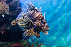 Lion fish in the water Stock Photography
