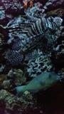 Lion fish stock photos