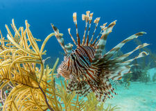 Lion fish  or zebra fish Stock Images