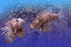 Lion-fishes. They are two exotic fishes under water against deep-water plants and sea inhabitants Royalty Free Stock Photo