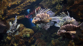 Lion fishes Royalty Free Stock Images