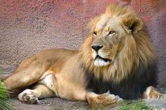 Lion fixant dans l'herbe Photo libre de droits