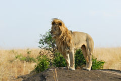 Lion with flowing mane Stock Photography