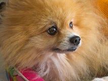 Lion fluffy Pomeranian dog portrait. Lion fluffy Pomeranian looking outside Royalty Free Stock Photos
