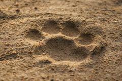 Lion footprint. A lion's footprint in the soft sand royalty free stock photography