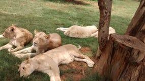 Jungle cat royalty free stock photos