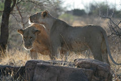 Lion Friends. Meeting of two lionesses in African bush Stock Photos