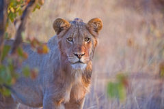 Lion Frown. A young lion checks out the photographer Stock Images