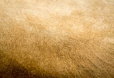 Lion Fur Texture Royaltyfri Bild