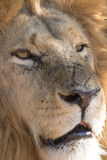 Lion in a game Park in Zimbabwe Stock Images