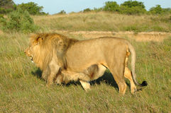Lion in game reserve Royalty Free Stock Image