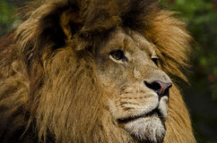 Lion Gaze. Photo of a Lion (Panthera leo) in captivity stock images