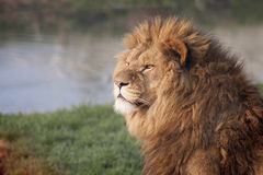 Lion Gazing into the Distance Stock Photography