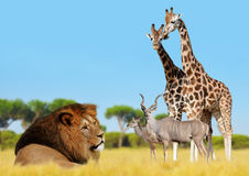 Lion with giraffes and antelopes Royalty Free Stock Images