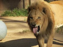 Lion Sticking out his Tongue stock photography