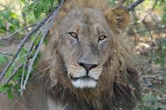 Lion Glare Botswana Arkivfoto