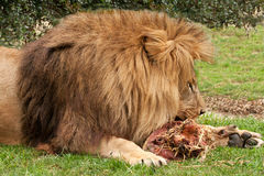 Lion gnawing on raw meat Stock Images