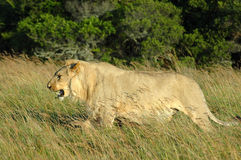 Lion in grass. Side view of young male African lion in grassland with trees in background Royalty Free Stock Images
