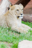 Lion in the grass Stock Photos